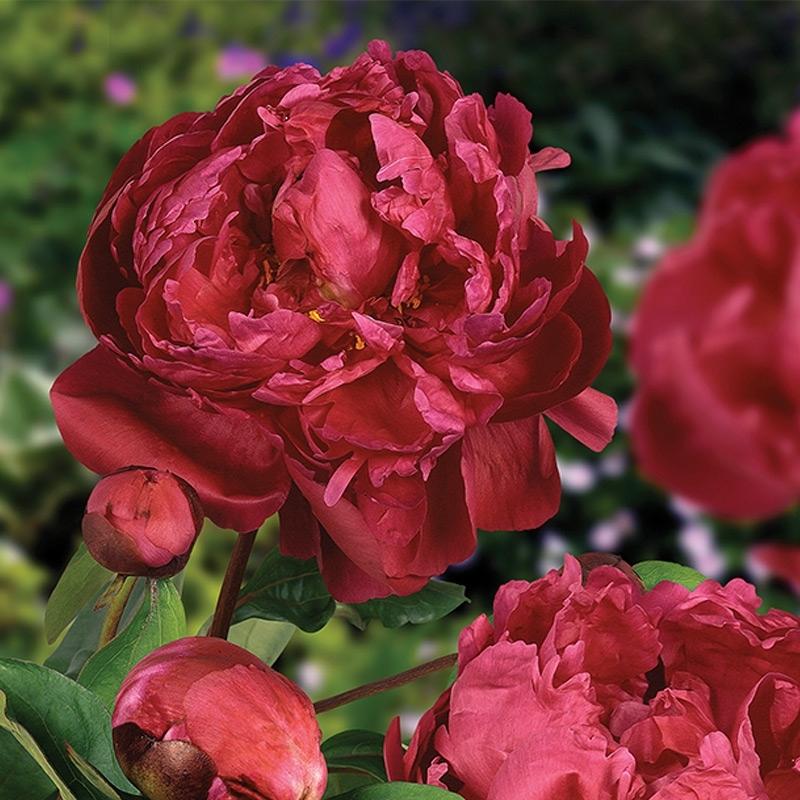 Пион Сара Бернардт красный( Red Sarah Bernhardt)