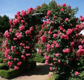 Роза Розариум Ютерсен (Rosarium Uetersen)