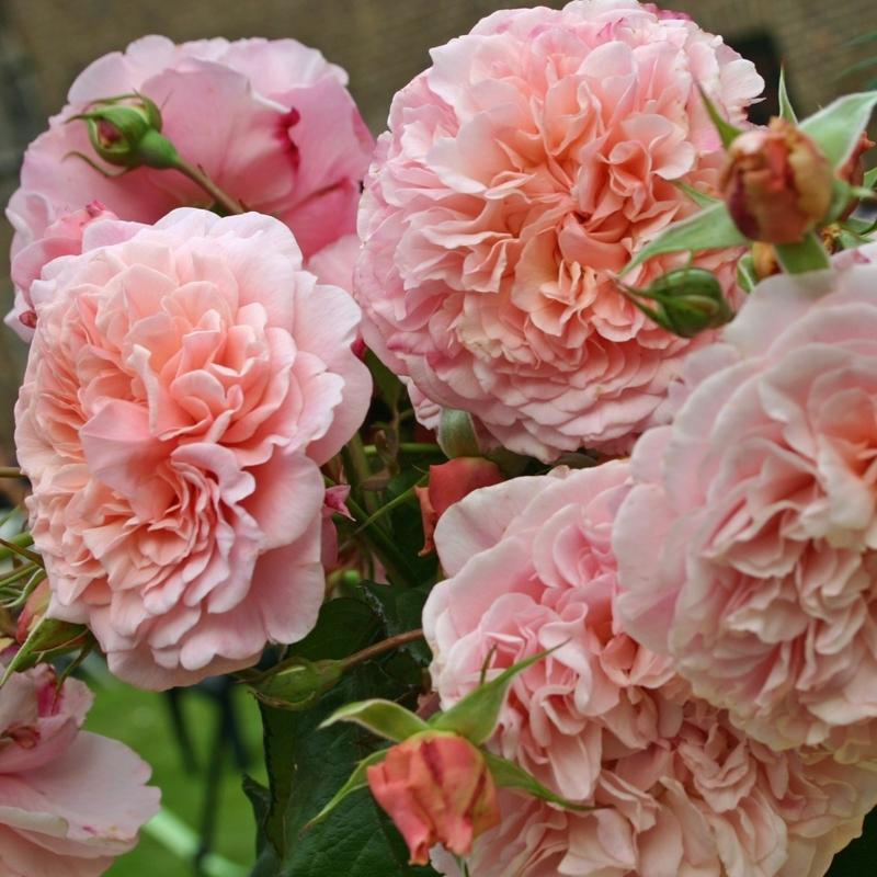 Роза Роуз Де Толбиак (Rose de Tolbiac)