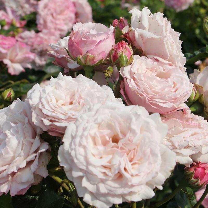 Роза Розенфасцинацион (Rosenfaszination)
