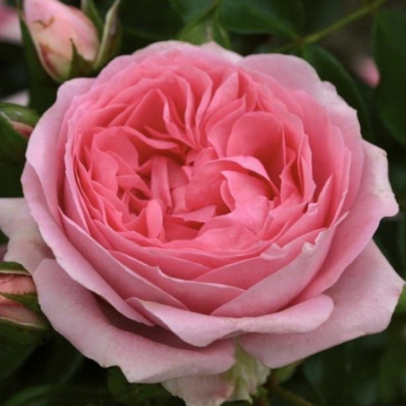 Роза Розенфи (Rosenfee)