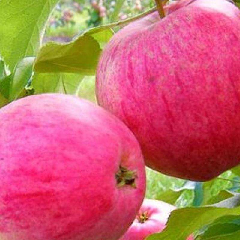 Яблоня Розовый налив (Малиновка)
