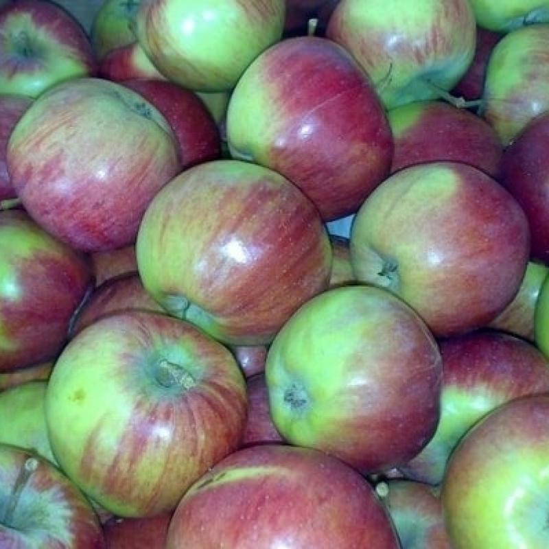 Яблоня Россошанское зимнее