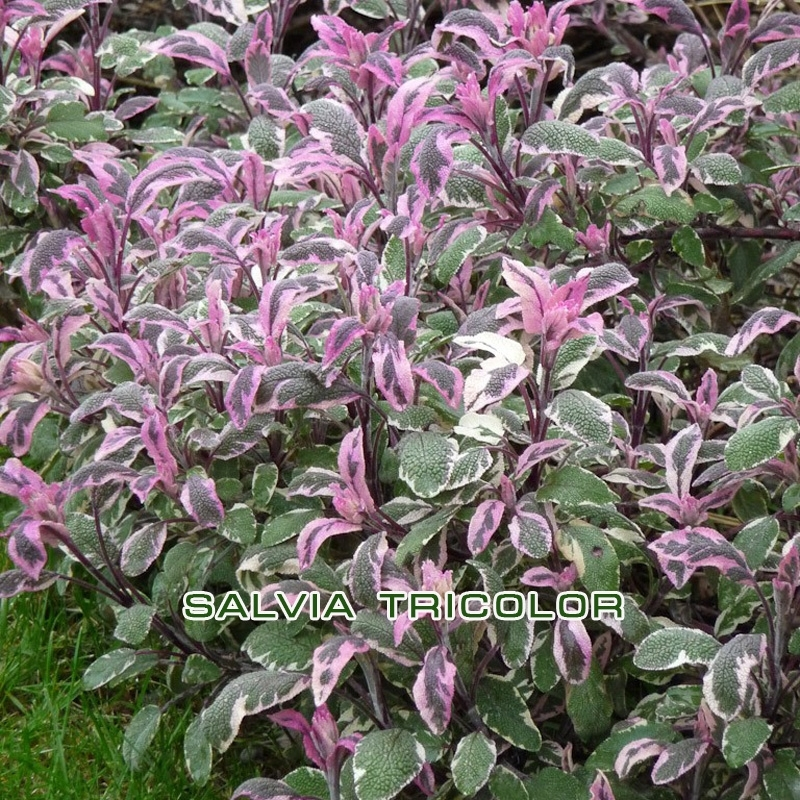 Шалфей (Salvia Tricolor)