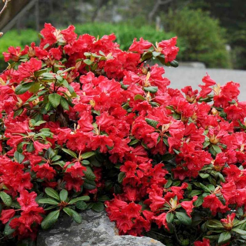 Рододендрон ползучий Скарлет Вандер (Rhododendron Scarlet Wonder) С 5 л (30-40 см)