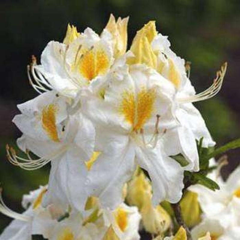 Азалия крупноцветковая Шнеегольд / Шнигольд (Rhododendron Schneegold) С 2 л (30-50 см)