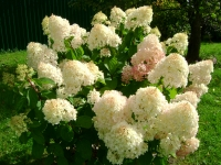 Гортензия метельчатая Силвер Доллар (Hydrangea paniculata Silver Dollar)