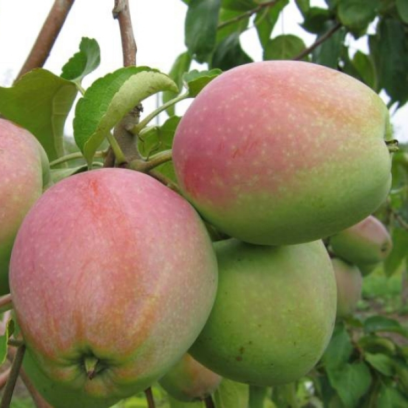 Яблоня Синап северный