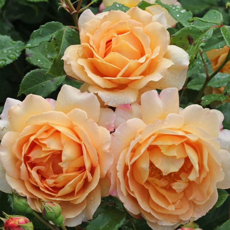 Роза Зонненвельт (Sonnenwelt)