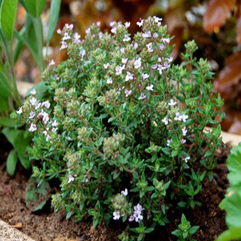 Тимьян обыкновенный (Thymus vulgaris Faustinoi)