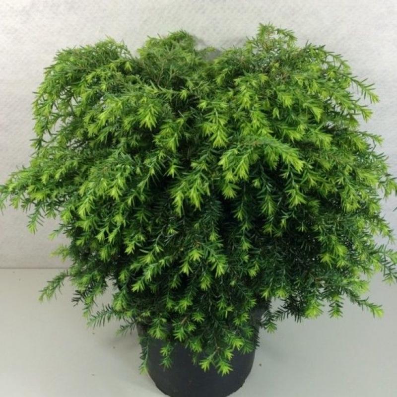 Тсуга канадская Джедделох (Tsuga canadensis Jeddeloh) C 5 л (30-40 см)
