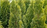 Туя западная Смарагд (Smaragd) С 3л (30-50 см)