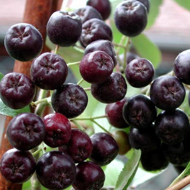 Рябина черноплодная Викинг (Aronia prunifolia Viking)