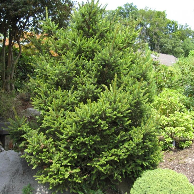 Ель обыкновенная Виллс Цверг (Picea abies Will's Zwerg) С 7,5/10 (40+)