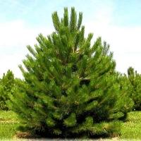 Сосна черная (Pinus Nigra) С 7,5 л (60-90 см)