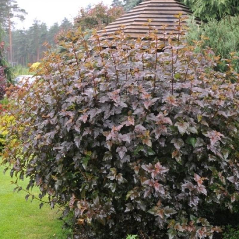 Пузыреплодник калинолистный Диабло (Physocarpus opulifolius Diablo) С 2 л(60-70 л)