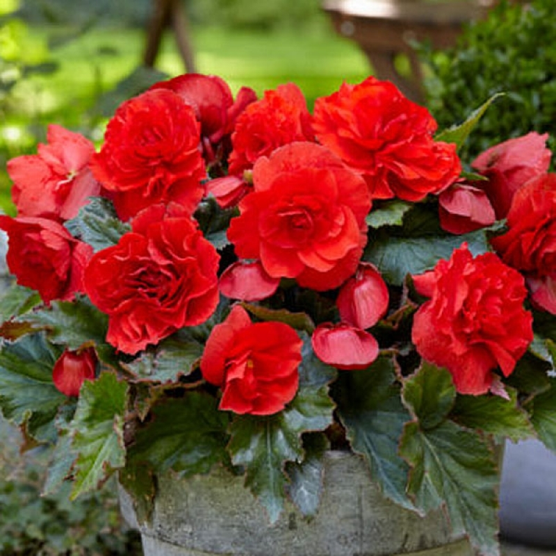 Бегония ароматная Fragrant Одороза Ред (Odorosa Red)