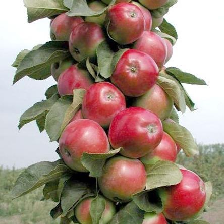 колоновидная яблоня икша описание сорта фото