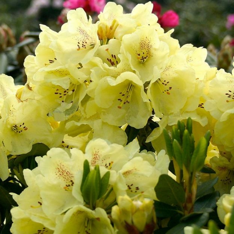 Рододендрон гибридный Голдбукет ( Rhododendron hybriden Goldbukett) С 5 л (30-40 см)