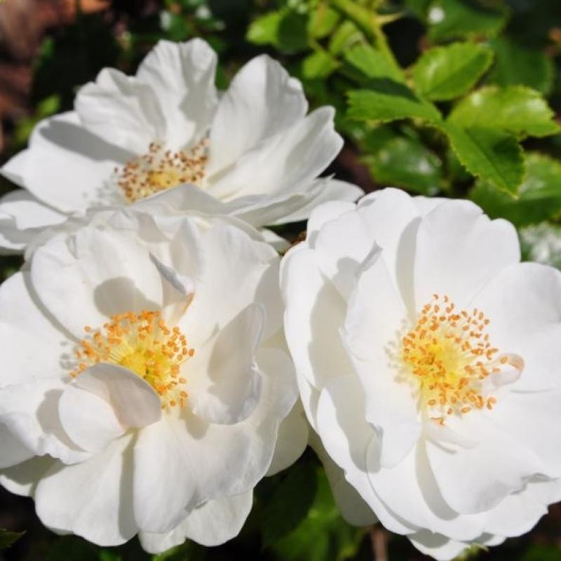 Роза Инносенсия ( Innocencia)