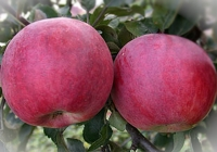 Яблоня Красное раннее