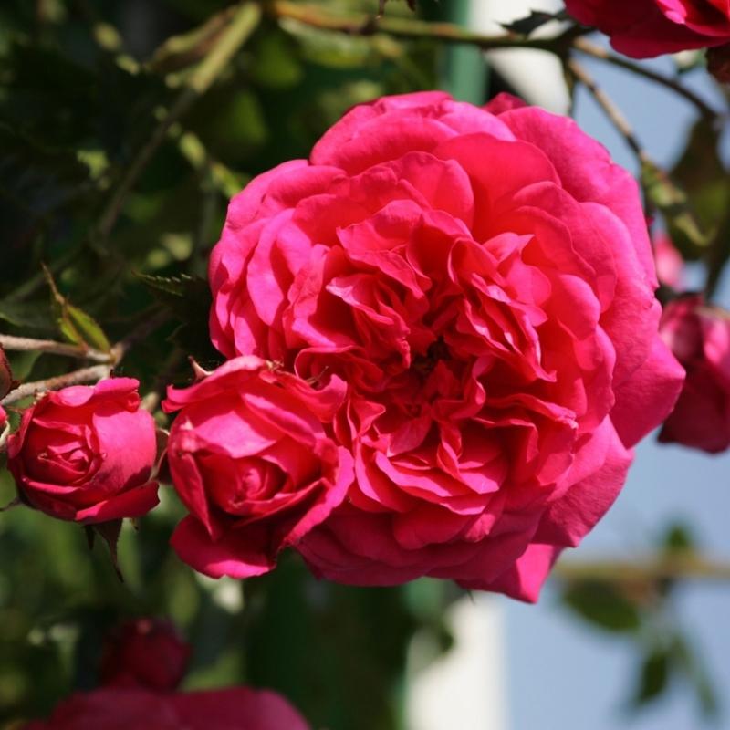 Роза Лагуна (Laguna)