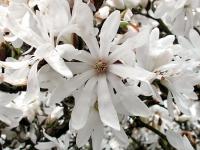 Магнолия Звездчатая (Magnolia stellata) С 4 л (60-80 см)