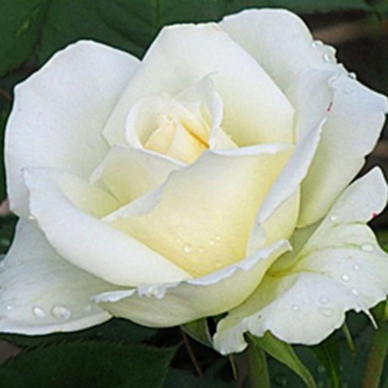 Роза Маунт Шаста( Rose Mount Shasta)