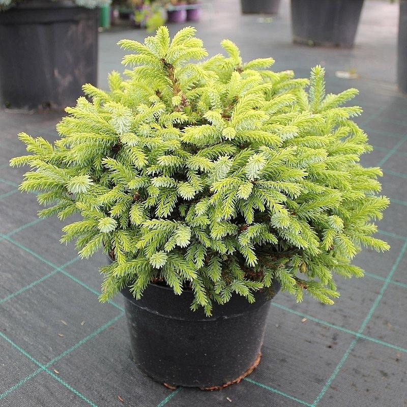Ель оморика Нана ( (Picea Omorika Nana) С 3 л (20-30 см)
