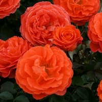 Роза Оранж Пасьон (Orange Passion)