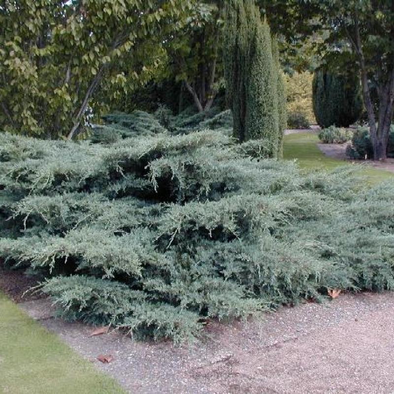 Можжевельник средний Пфитцериана Глаука (Juniperus x-media Pfitzeriana Glauca) С 5 л (40-50 см)