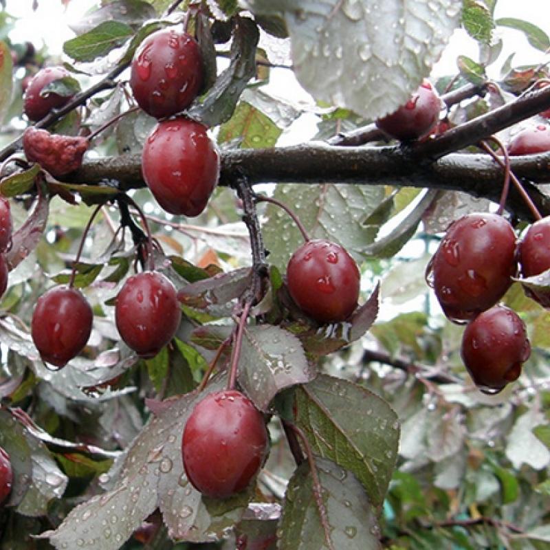 Слива Писсарди (Prunus Pissardii) С 25 л (160-180 см)