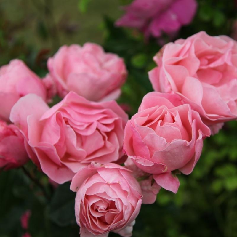 Роза Королева Елизавета (Queen Elizabeth)
