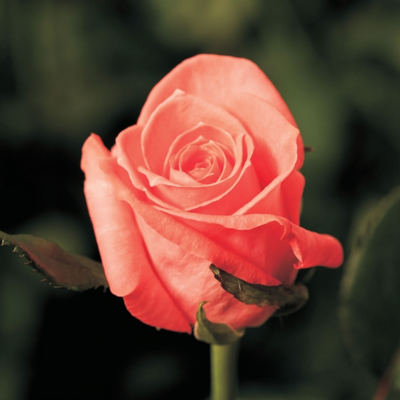 Роза Карина ( Carina)