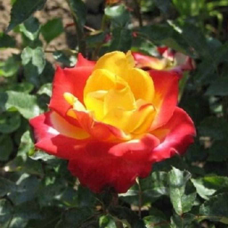 Роза Шато Жискур (Chateau Giscours)