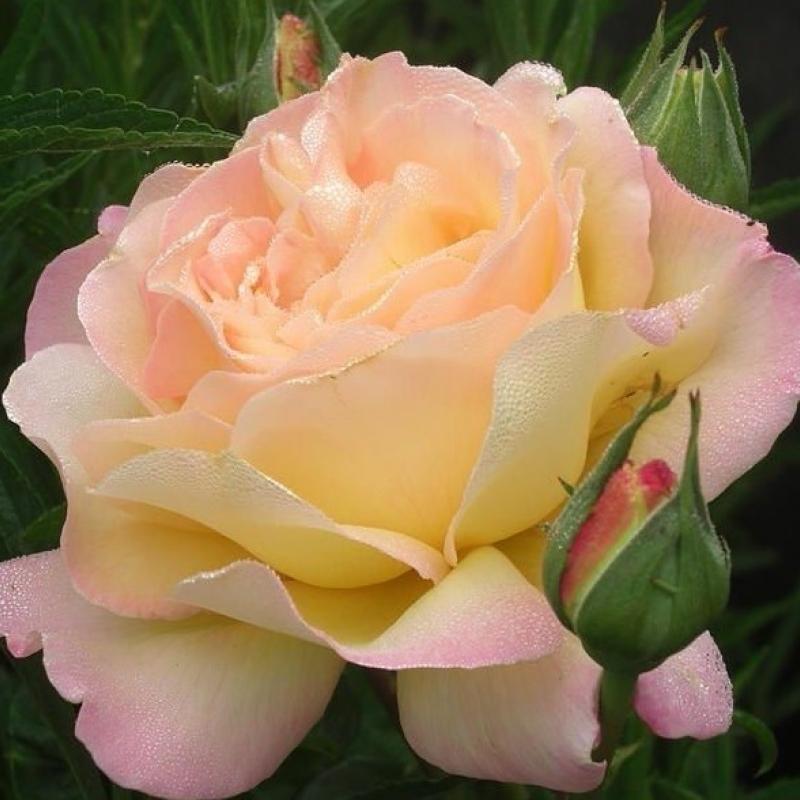 Роза Пис(Глория Деи)(Gloria Dei (Peace)