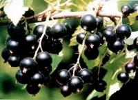 Смородина чёрная  Селеченская