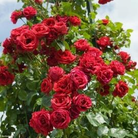 Роза Симпатия (Sympathie)