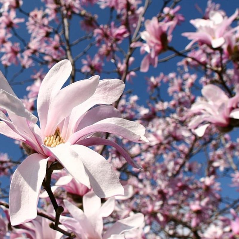 Магнолия звёздчатая Розеа ( Magnolia stellata Rosea) С12 л (80-100 см)
