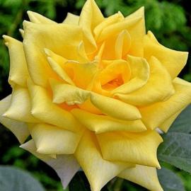 Роза Беролина ( Berolina)