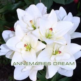 Лилия азиатская махровая  Аннамари Дрим (Annemaries Dream)