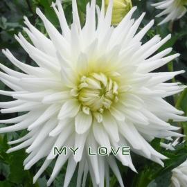 Георгин кактусовый  (DAHLIA CACTUS )