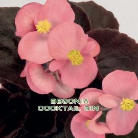 Бегония вечноцветущая  (Begonia semperflorens) кассета 10 шт