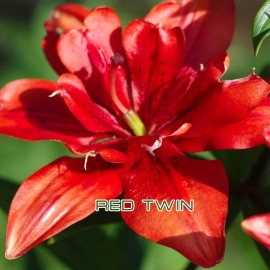 Лилия азиатская махровая Ред Твин( Red Twin)  уп/ 3 шт