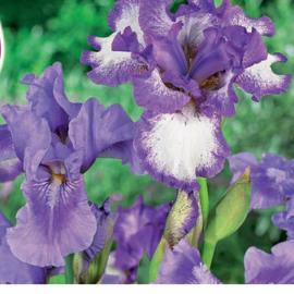 Ирис смесь Блубёрд Бленд(Iris Bluebeard Blend)