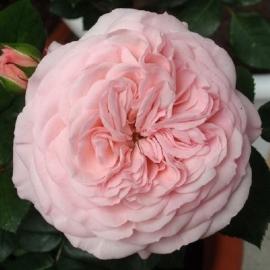 Роза Мариятерезия (Mariatheresia)