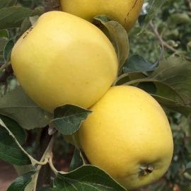 Яблоня Айнур