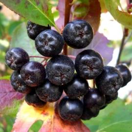 Рябина черноплодная (Aronia melanocarpa)