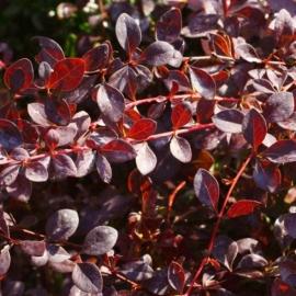 Барбарис оттавский Аурикома (Berberis х ottawensis Auricoma) С 2 л 30-40 cм
