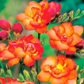 Фрезия гибридная махровая Оранж Вондер ( Orange Wonder)